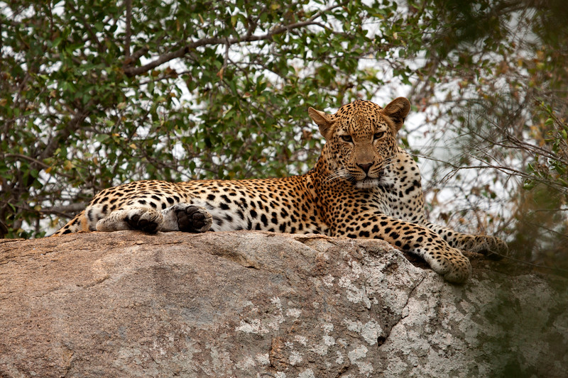 "Adult Leopard resting on a rock, South Africa.  Follow me on: <a href=""https://www.facebook.com/PhilipCormackPhotography"" rel=""nofollow"">Facebook</a> 