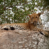 """Adult Leopard resting on a rock, South Africa.  Follow me on: <a href=""""https://www.facebook.com/PhilipCormackPhotography"""" rel=""""nofollow"""">Facebook</a>   <a href=""""https://twitter.com/Philip_Cormack"""" rel=""""nofollow"""">Twitter</a>   <a href=""""http://www.flickr.com/people/philip_cormack_photography/"""">Flickr</a>   <a href=""""https://pinterest.com/philipcormack/"""" rel=""""nofollow"""">Pinterest</a>   <a href=""""http://www.modelmayhem.com/PhilipCormackPhotography"""" rel=""""nofollow"""">Model Mayhem</a>"""