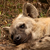 "Sleepy Hyena, South Africa.  Follow me on: <a href=""https://www.facebook.com/PhilipCormackPhotography"" rel=""nofollow"">Facebook</a> 