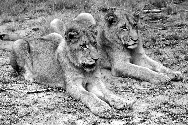 "Two male lions resting, South Africa.  Follow me on: <a href=""https://www.facebook.com/PhilipCormackPhotography"" rel=""nofollow"">Facebook</a> 