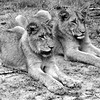 """Two male lions resting, South Africa.  Follow me on: <a href=""""https://www.facebook.com/PhilipCormackPhotography"""" rel=""""nofollow"""">Facebook</a>   <a href=""""https://twitter.com/Philip_Cormack"""" rel=""""nofollow"""">Twitter</a>   <a href=""""http://www.flickr.com/people/philip_cormack_photography/"""">Flickr</a>   <a href=""""https://pinterest.com/philipcormack/"""" rel=""""nofollow"""">Pinterest</a>   <a href=""""http://www.modelmayhem.com/PhilipCormackPhotography"""" rel=""""nofollow"""">Model Mayhem</a>"""