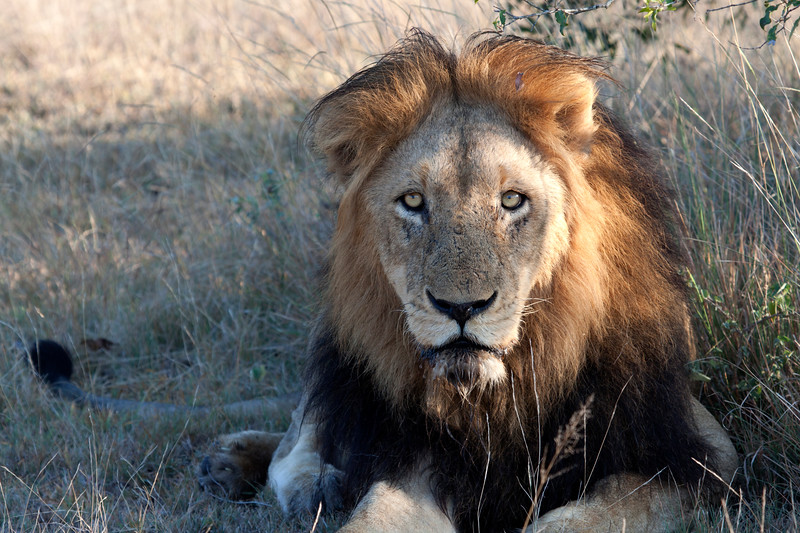 """Adult male lion resting after a successful night of hunting, South Africa.  Follow me on: <a href=""""https://www.facebook.com/PhilipCormackPhotography"""" rel=""""nofollow"""">Facebook</a>   <a href=""""https://twitter.com/Philip_Cormack"""" rel=""""nofollow"""">Twitter</a>   <a href=""""http://www.flickr.com/people/philip_cormack_photography/"""">Flickr</a>   <a href=""""https://pinterest.com/philipcormack/"""" rel=""""nofollow"""">Pinterest</a>   <a href=""""http://www.modelmayhem.com/PhilipCormackPhotography"""" rel=""""nofollow"""">Model Mayhem</a>"""