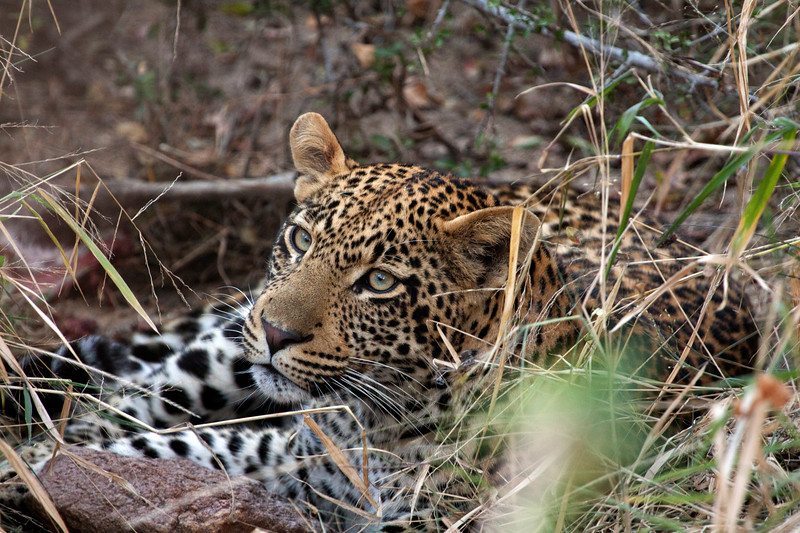 """Leopard cub in river bed feeding, South Africa.  Follow me on: <a href=""""https://www.facebook.com/PhilipCormackPhotography"""" rel=""""nofollow"""">Facebook</a>   <a href=""""https://twitter.com/Philip_Cormack"""" rel=""""nofollow"""">Twitter</a>   <a href=""""http://www.flickr.com/people/philip_cormack_photography/"""">Flickr</a>   <a href=""""https://pinterest.com/philipcormack/"""" rel=""""nofollow"""">Pinterest</a>   <a href=""""http://www.modelmayhem.com/PhilipCormackPhotography"""" rel=""""nofollow"""">Model Mayhem</a>"""