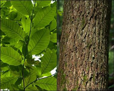 Cucumber Tree (Magnolia acuminata )