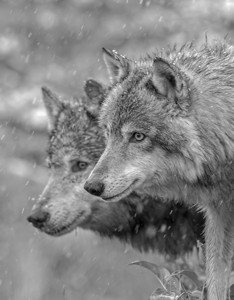 Gray Wolf Couple