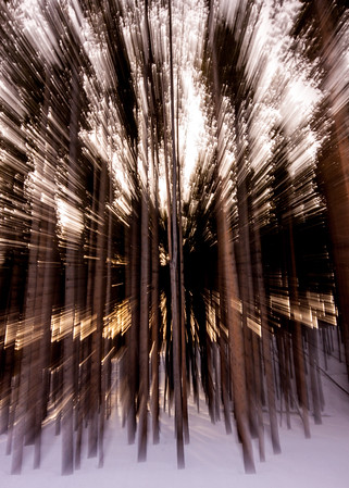 Pine Tree Forest (Abstract)