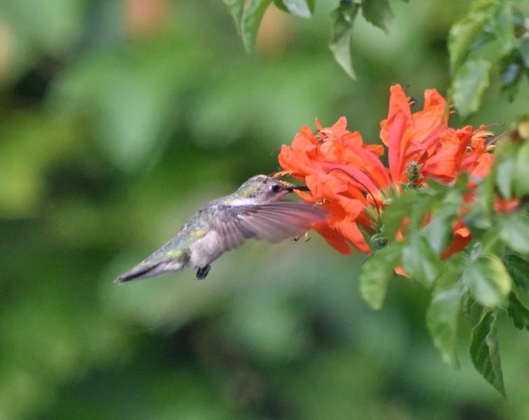 Humming Bird 5