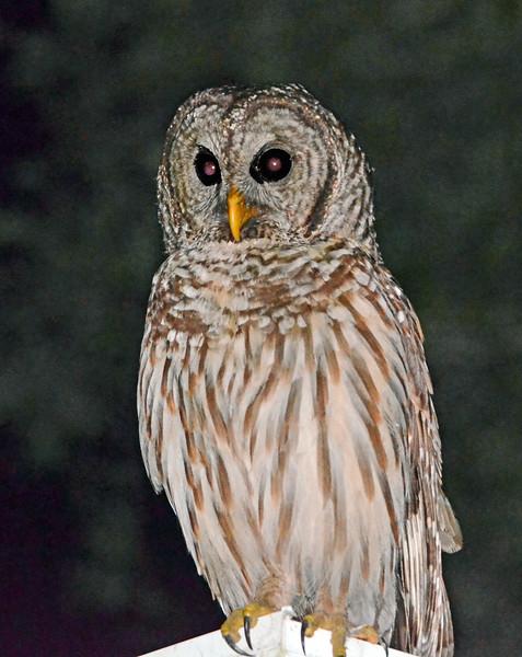 "Barred Owl 1 - Strix Varia<br />  <a href=""http://www.owlpages.com/owls.php?genus=Strix&species=varia"">http://www.owlpages.com/owls.php?genus=Strix&species=varia</a>"