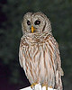 "Barred Owl 1 - Strix Varia<br />  <a href=""http://www.owlpages.com/owls.php?genus=Strix&species=varia"">http://www.owlpages.com/owls.php?genus=Strix&species=varia</a>"