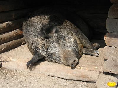 Lazy Boar