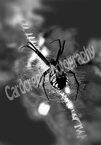 Male Garden Spider,B&W