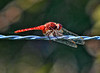 Red Dragonfly<br /> Good omen or bad, you decide.