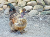 Molting Silkie Rooster