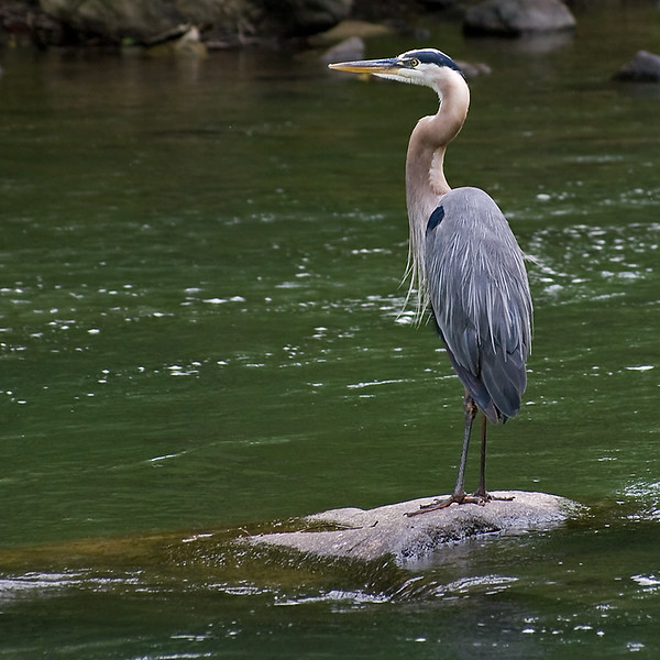 Blue heron at attention