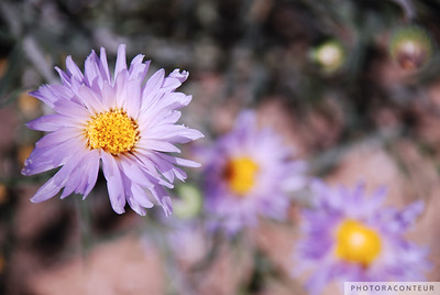"""Mojave Asters"" ~ Violet colored wildflowers, Mojave Asters, found in Red Rock Canyon near Las Vegas, Nevada."