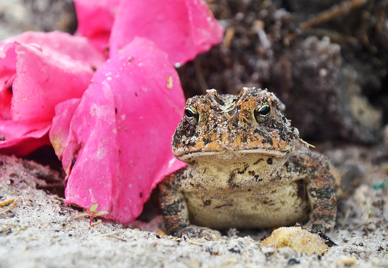 """Southern Toad  -  (Bufo Terrestris)<br />  <a href=""""http://en.wikipedia.org/wiki/Bufo_terrestris"""">http://en.wikipedia.org/wiki/Bufo_terrestris</a>"""