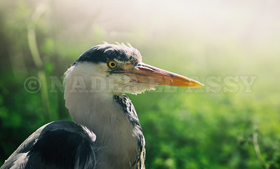 Grey Heron Close up