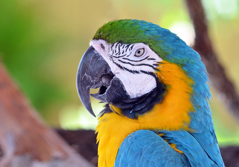 Blue Macaw 1