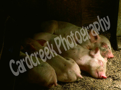 Four content piglets taking an afternoon nap.