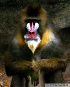 """Mandrill Baboon"" ~ Colorful photo of a Mandrill Baboon hangin' out at the zoo."