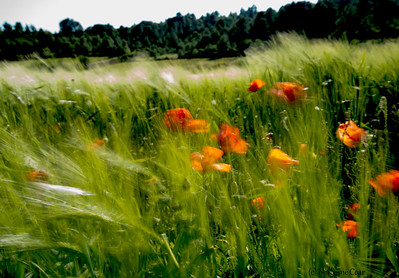 Poppies in Field