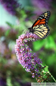 """Monarch Butterfly"" ~ Colorful photo of Monarch butterfly in a lavendar field within the Daniel Stowe Botanical Garden in Belmont, North Carolina."