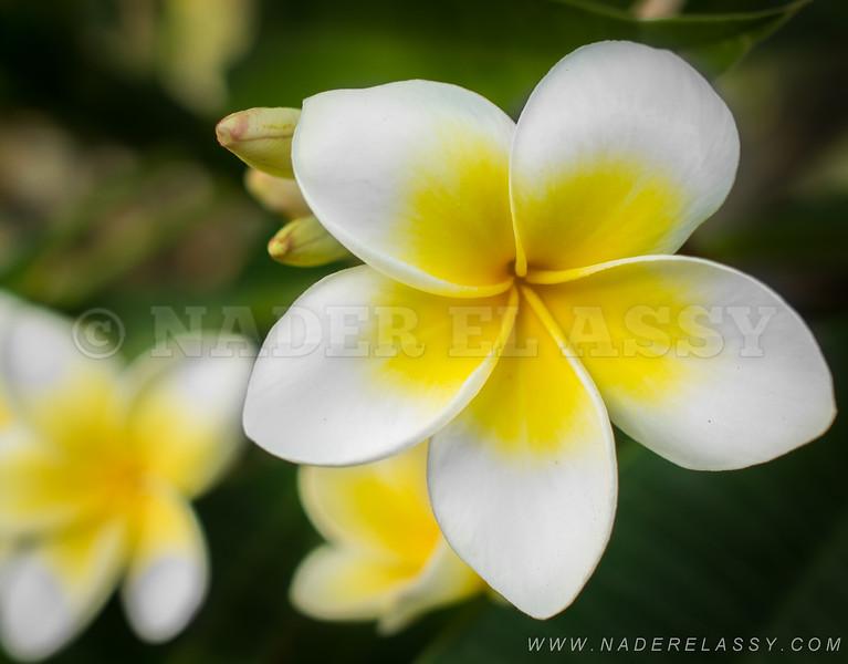 Elegant Pluméria Flower