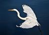 Great Egret 5