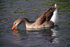 Brown Chinese Goose 1