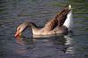 Brown Chinese Goose 1