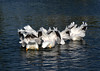 White Pelicans 4