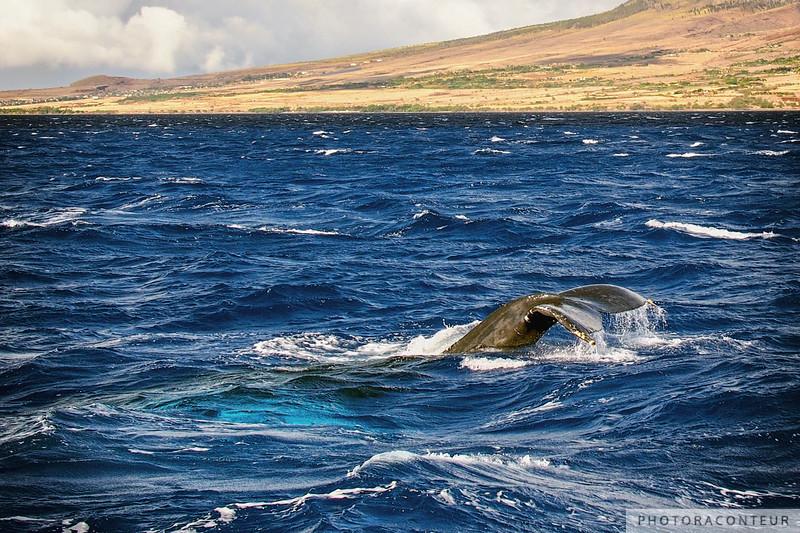 Maui Humpback Whale Tail