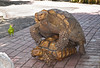 Tortoise Love