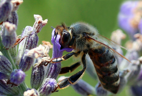 bee loving lavender