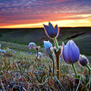Pasqueflowers at Sunset #2