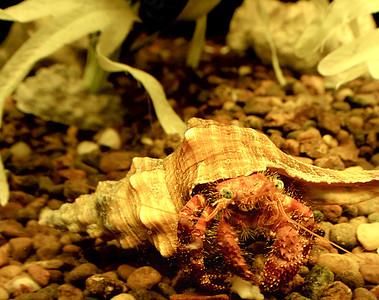 Crab (Underwater)