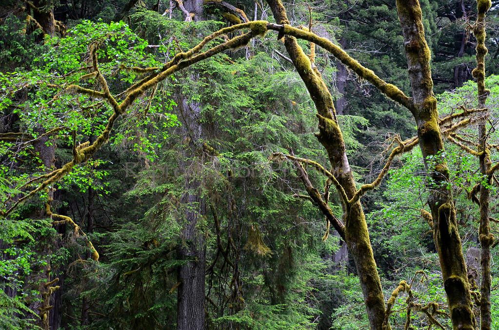 See the Forest for the Trees Redwood National Park, CA