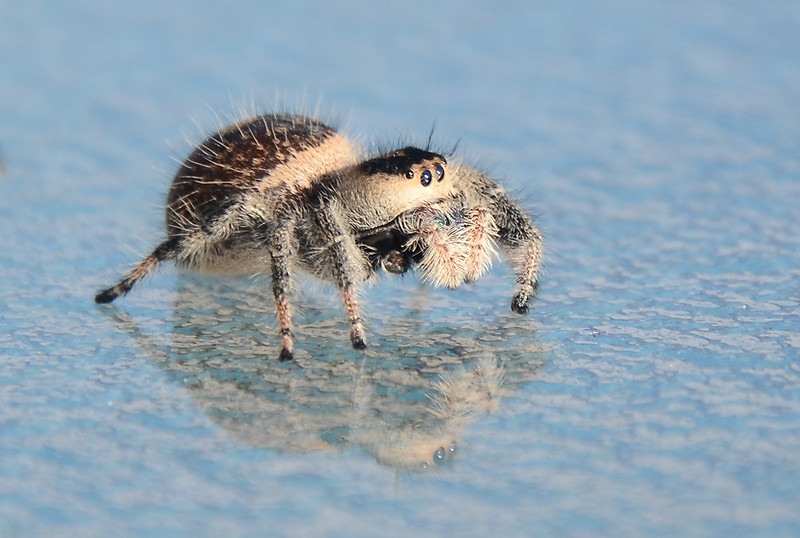 "Jumping Spider<br />  <a href=""http://www.ehow.com/info_8439869_little-jumping-spiders-florida.html"">http://www.ehow.com/info_8439869_little-jumping-spiders-florida.html</a>"