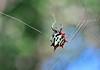 Spiny Orb Weaver 1