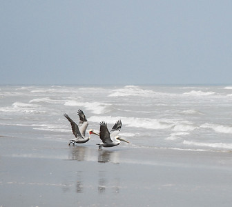 pelicans - South Padre Island, Texas
