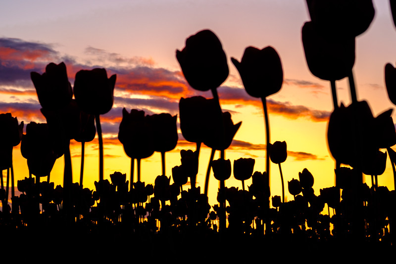Tulip Silhouette at Sunset