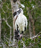Wood Stork of Sanibel