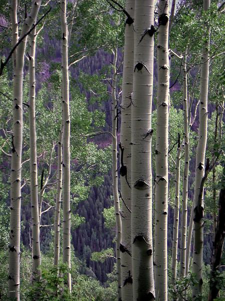 Aspens near Ouray Colorado 2006