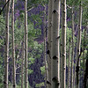 Aspens near Ouray Colorado 2006