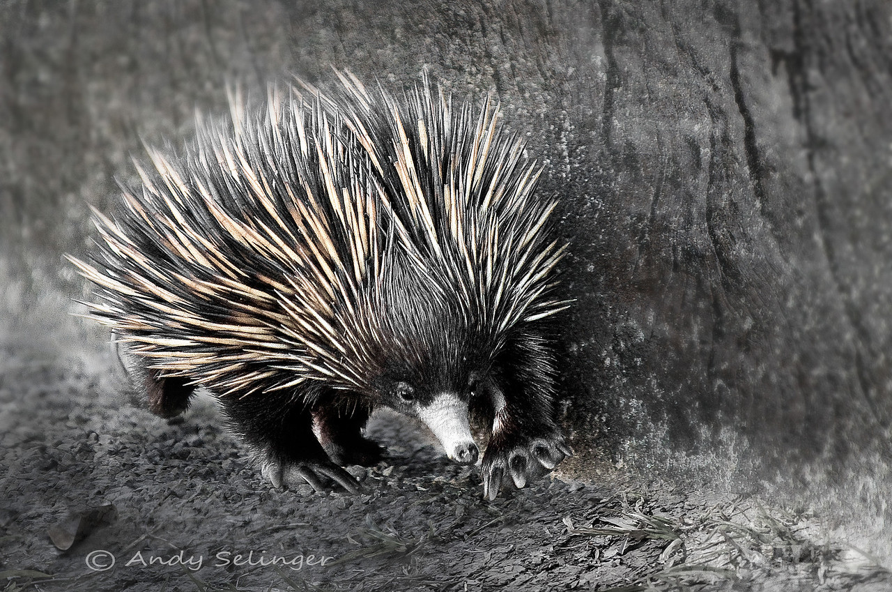 An echidna is moving along the side of a bridge, hurrying to get across.