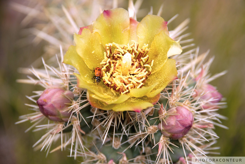 """Ladybug & Cactus Flower"" ~ I wandered upon this fine ladybug hanging out in the Spring bloom of a Cholla Cactus while in the Red Rock Canyon National Conservation Area one afternoon. Beyond the Las Vegas Strip, finding colorful subjects to photograph in the Nevada desert can certainly be challenging, so I was delighted!"