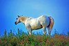 Wyoming White Horse