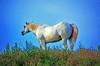 Wyoming White Horse