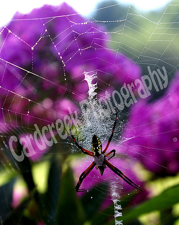 Yellow and Black Garden Spider (Argiope aurntia): Gardens and meadows. Season: Summer/Fall.
