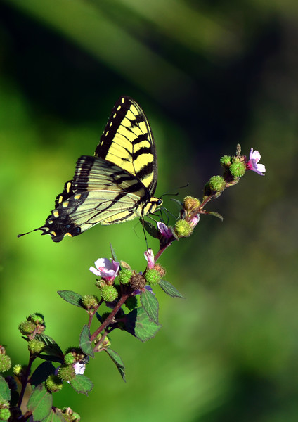 Tiger Swallowtail Butterfly 1
